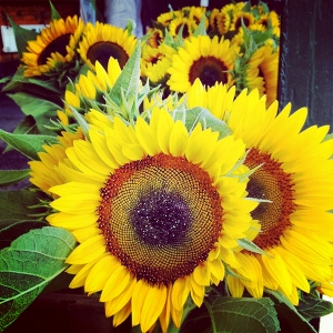Farm stand sunflowers in Riverhead, NY.