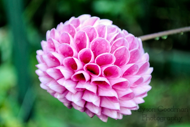 dahlia, pink, throwback thursday