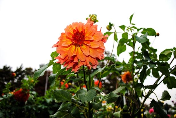 dahlia, flower, nature, plant, spring, garden, eisenhower park, east meadow, new york, long island