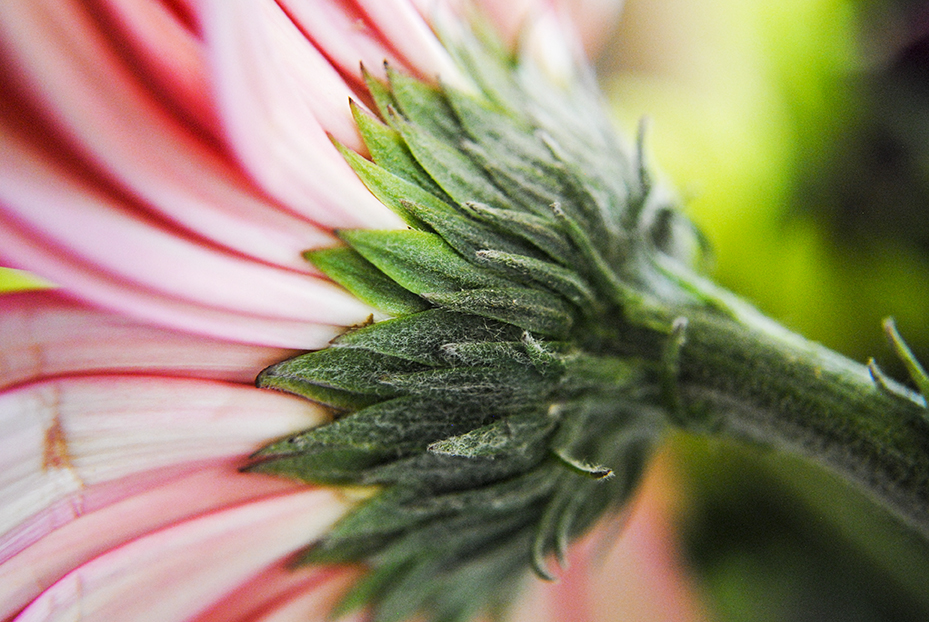 daisy, macro, photography, macro photography, up close, flower, floral, nature, plant