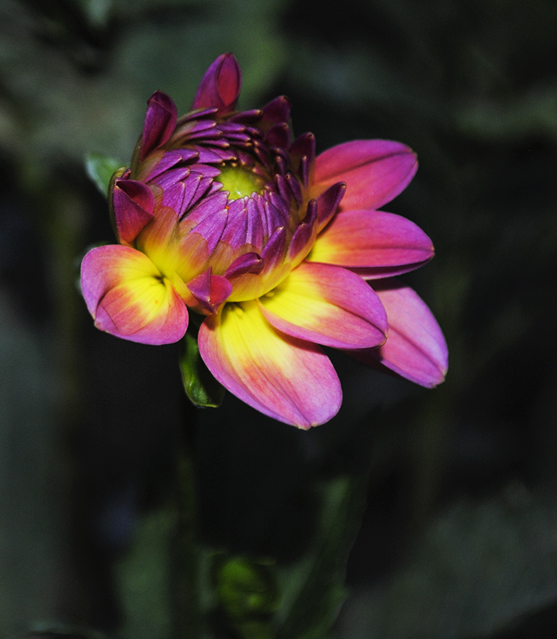 dahlia, dahlias, floral, flower, flowers,  garden, nature, plant, plants