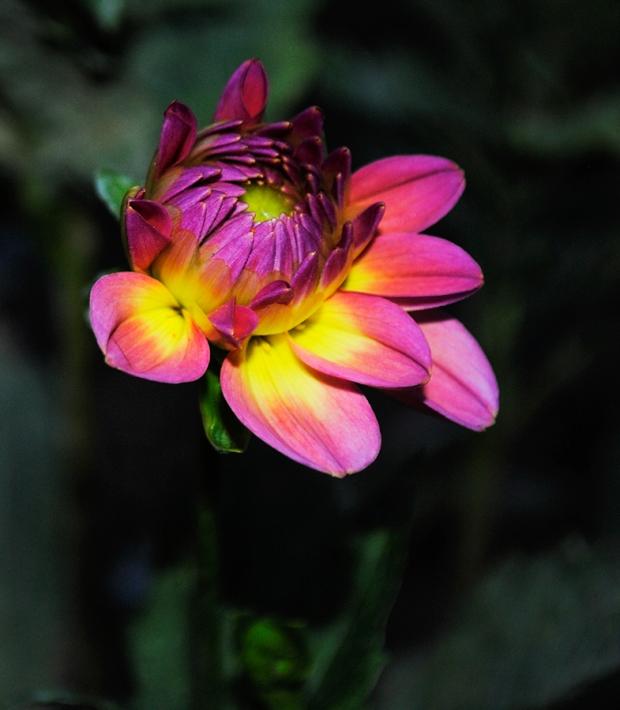 dahlia, dahlias, floral, flower, flowers,  garden, nature, plant, plants