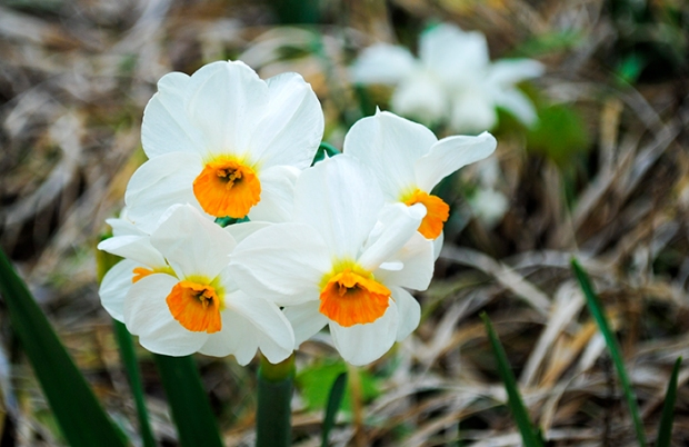 flower, floral, nature, plant, photography, flower photography, nature photography, garden, daffodil, daffodils