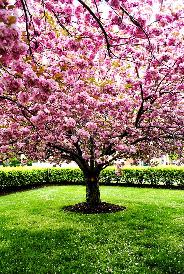 Look up look down all around sky blue pink kanzan cherry prunus tree flower pink nature floral mightylinksfo