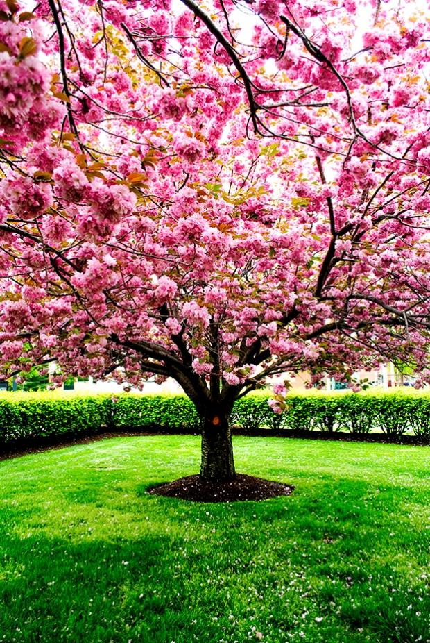 kanzan cherry, prunus, tree, flower, pink, nature, floral
