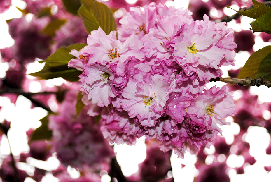 kanzan cherry, prunus, tree, flower, pink, nature, floral