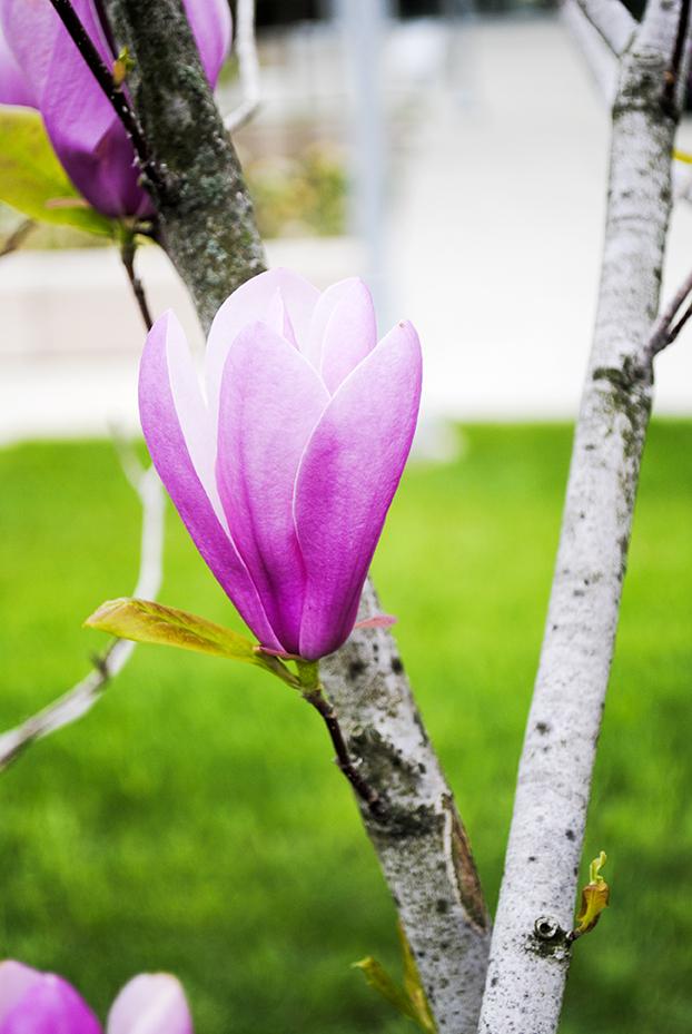 flower, floral, nature, plant, photography, flower photography, nature photography, garden, saucer magnolia, magnolia
