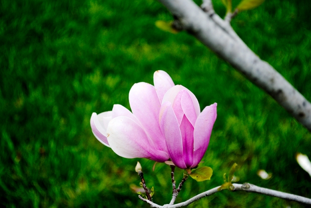 flower, floral, nature, plant, photography, flower photography, nature photography, garden, saucer magnolia, magnolia