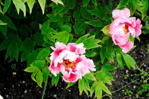 peony, peonies, flower, flowers, garden, nature, plant, plants, floral, old westbury gardens