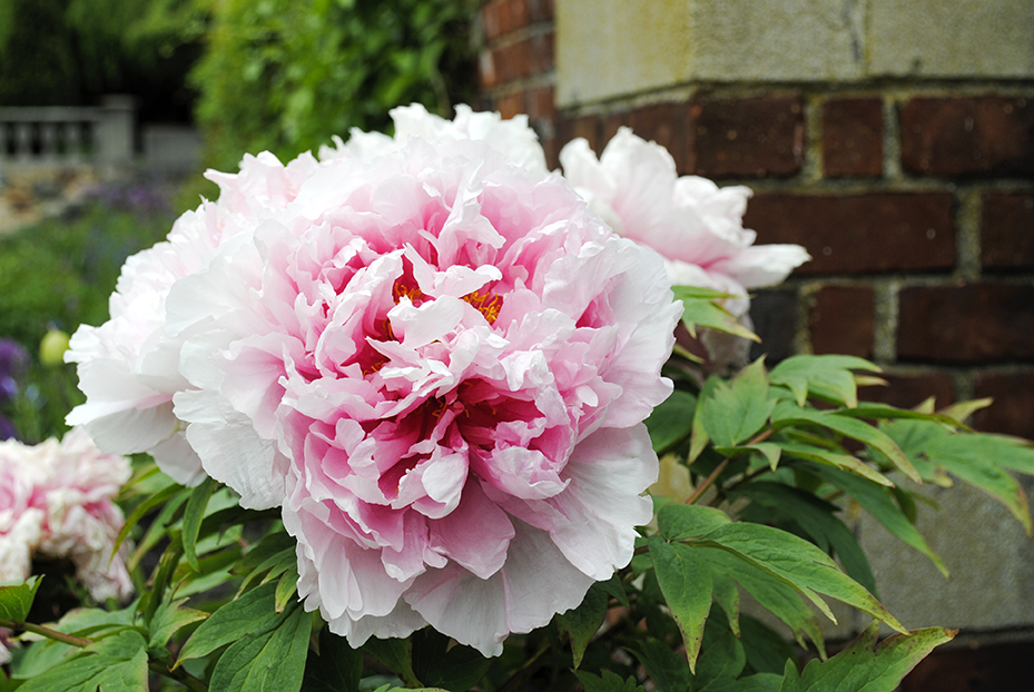 peony, peonies, flower, flowers, garden, nature, plant, plants, floral, old westbury gardens