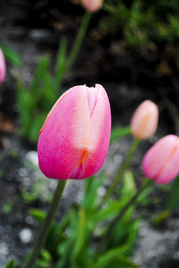 flower, floral, nature, plant, photography, flower photography, nature photography, garden, tulip, tulips