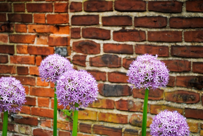 allium, alliums, floral, florals, flower, flowers, garden, long island, nature, old westbury gardens, plant, plants