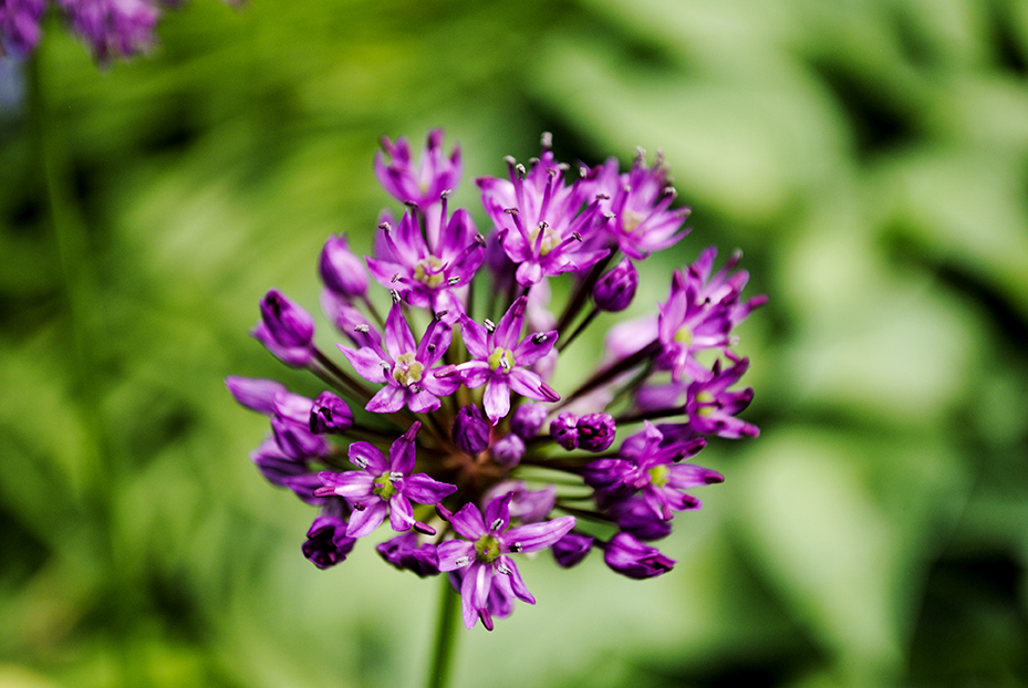 allium, alliums, floral, florals, flower, flowers, garden, long island, nature, old westbury gardens, plant, plants