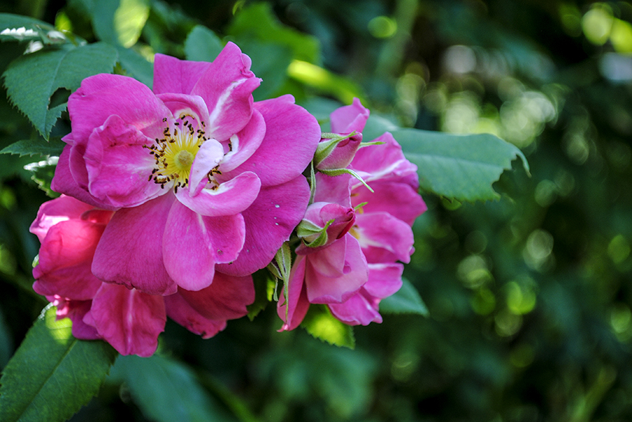 old westbury gardens, long island, new york, flower, flowers, rose, roses, nature, plant, plants, garden, floral