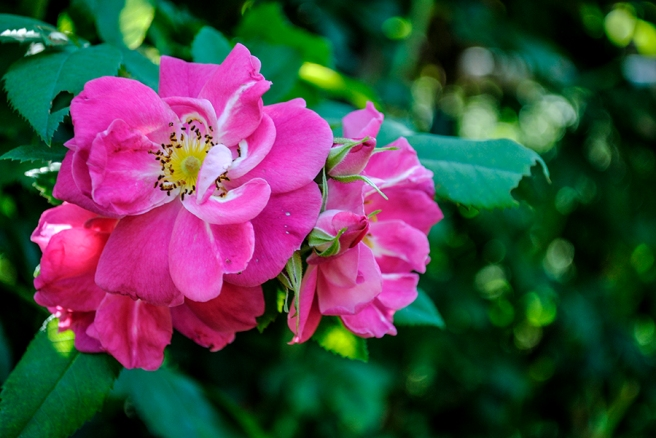 old westbury gardens, long island, new york, flower, flowers, rose, roses, nature, plant, plants, garden, floral