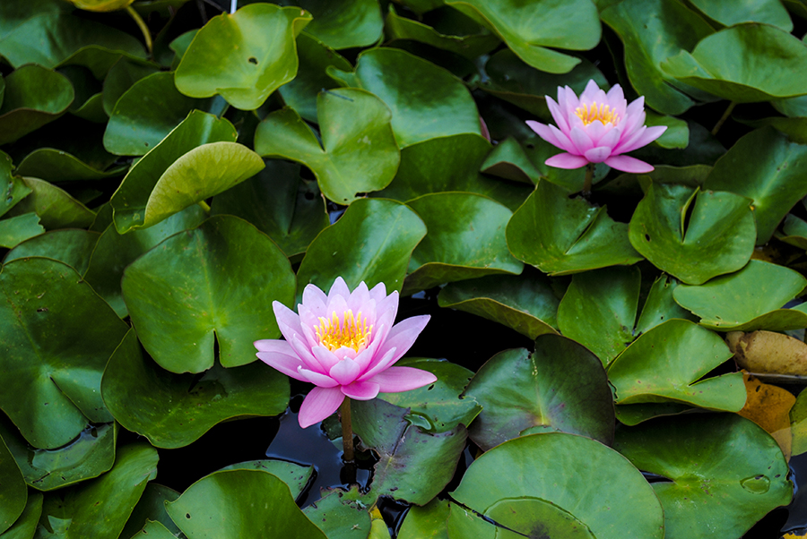 brooklyn botanic garden, brooklym, new york, flower, flowers, plant, nature, garden, water lily