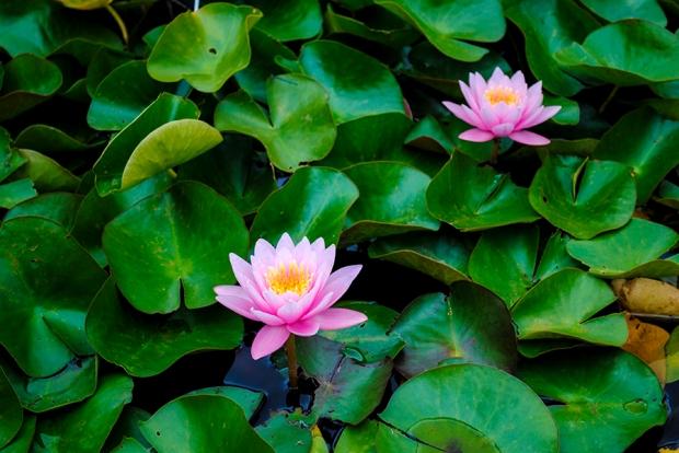 brooklyn botanic garden, brooklym, new york, flower, flowers, plant, nature, garden, water lily
