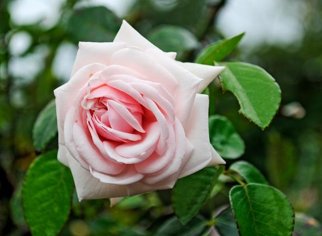 rose, flower, flowers, plant, nature, garden, brooklyn botanic garden, brooklyn, new york