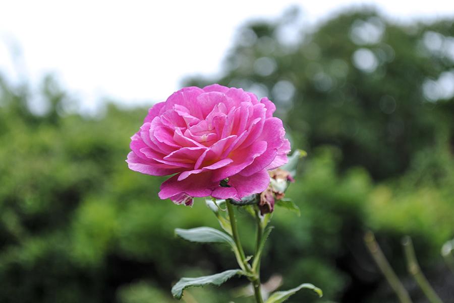 Brooklyn Botanic Garden: Cranford Rose Garden – Sky Blue Pink