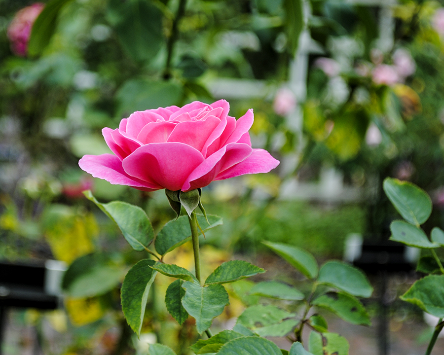rose, flower, flowers, plant, nature, garden, brooklyn botanic garden, brooklyn, new york