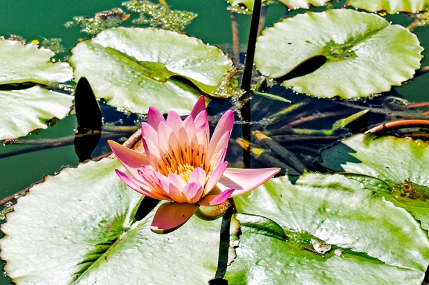old westbury gardens, long island, new york, flower, flowers, garden, nature, plant, plants, old westbury gardens walled garden, the walled garden, walled garden, water lily