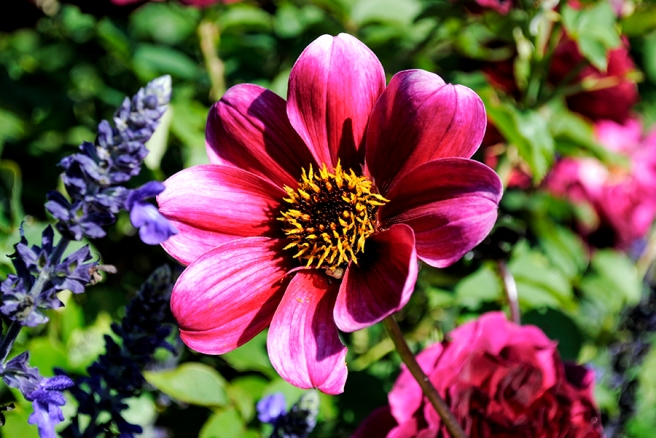 old westbury gardens, long island, new york, flower, flowers, garden, nature, plant, plants, old westbury gardens walled garden, the walled garden, walled garden, dahlia, dahlias,