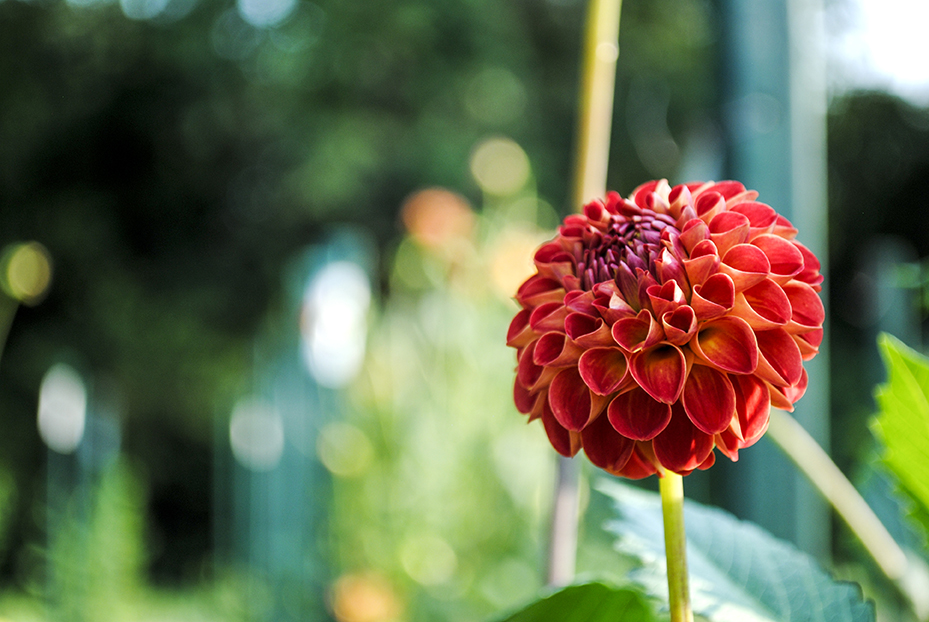 dahlia, dahlias, flower, flowers, garden, nature, plant, plants, long island, new york, east meadow, eisenhower park, dahlia garden