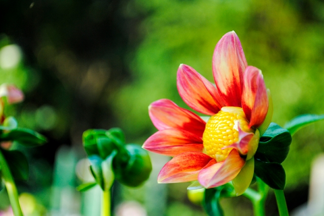 dahlia, dahlias, flower, flowers, garden, nature, plant, plants, long island, new york, east meadow, eisenhower park, dahlia garden