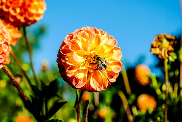 dahlia, bee, insect, flower, flowers, nature, garden, floral