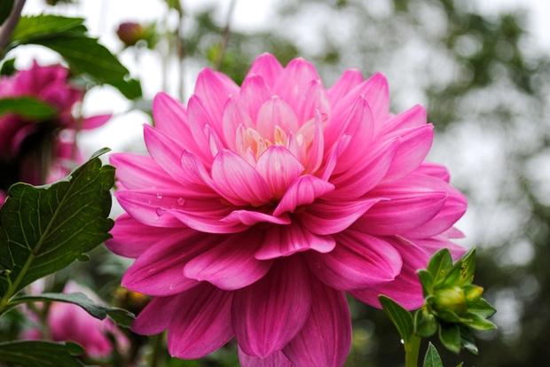 Eisenhower Park dahlia garden pink dahlia