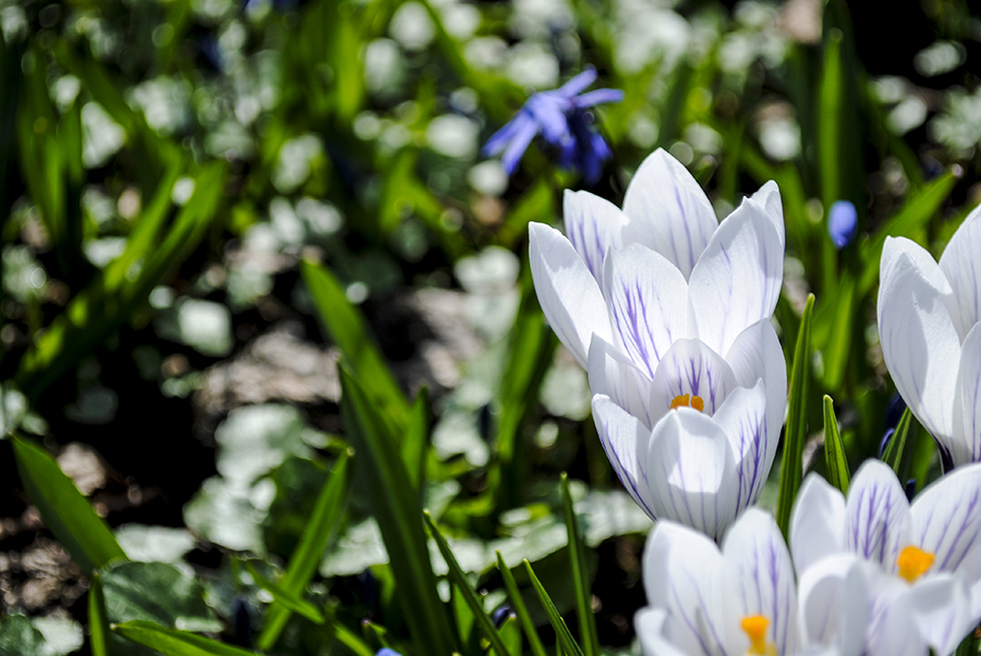 Crocus at Old Westbury Gardens, Old Westbury, New York
