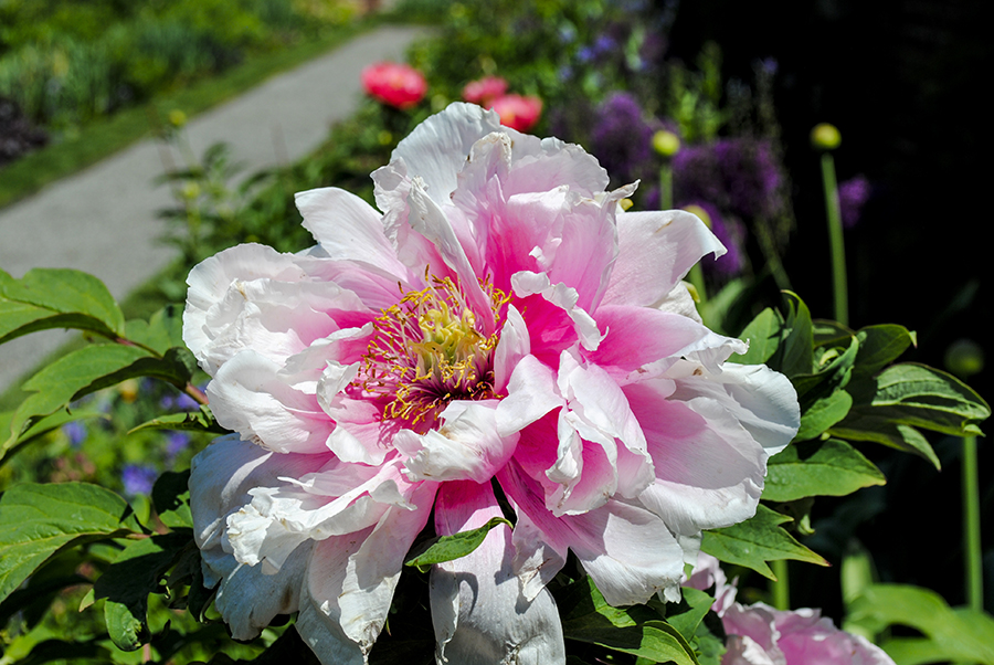 Peonies at Old Westbury Garden, Old Westbury, New York