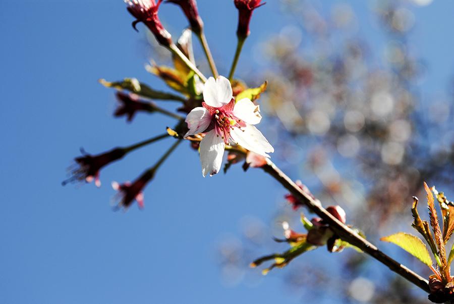 Okame cherry tree, William Cullen Bryant Preserve, Nassau County Museum of Art, Roslyn, New York