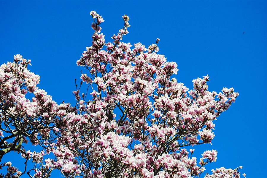 Saucer Magnolia tree, William Cullen Bryant Preserve, Nassau County Museum of Art, Roslyn, New York