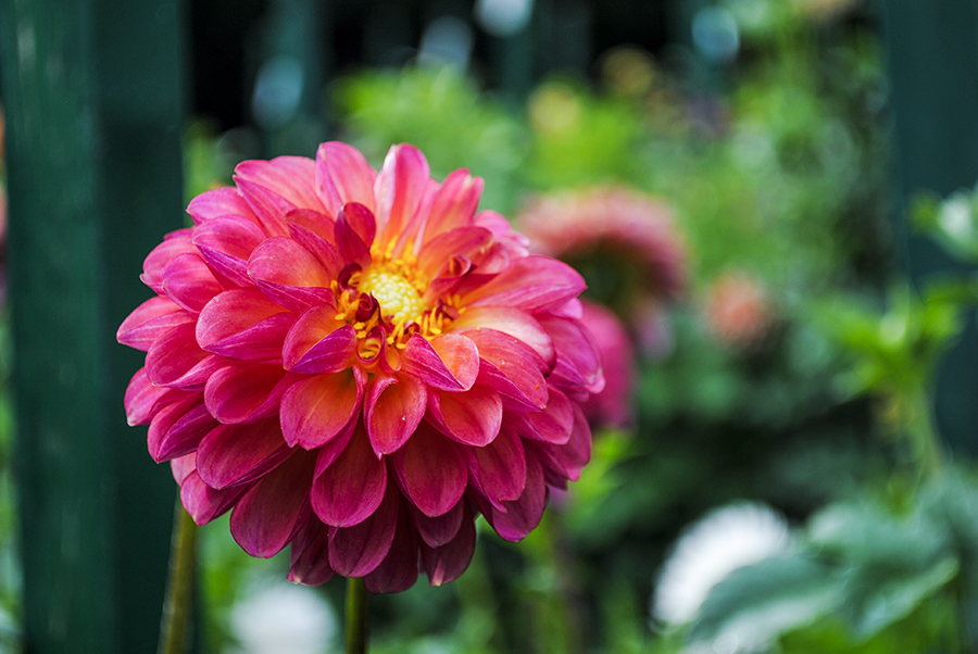 Eisenhower Park Dahlia Garden, East Meadow, NY, Long Island