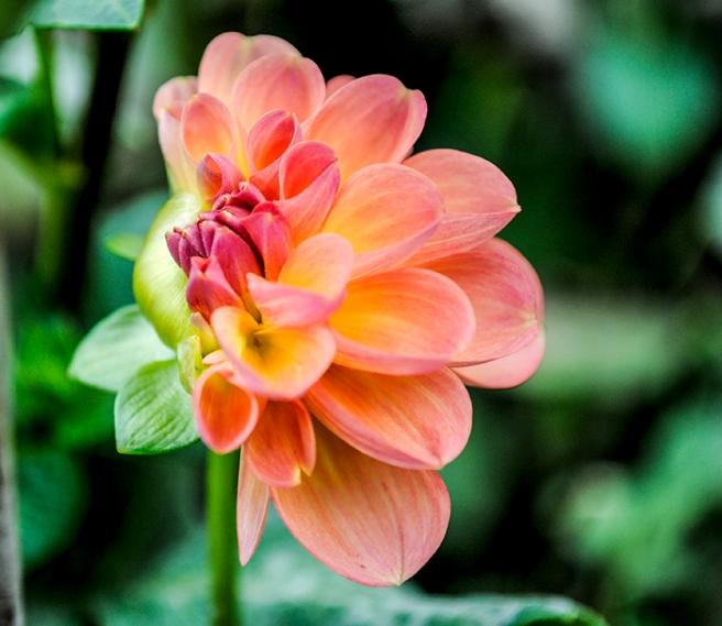 Dahlia from Eisenhower Park's dahlia garden. Photo by Alyson Goodman.