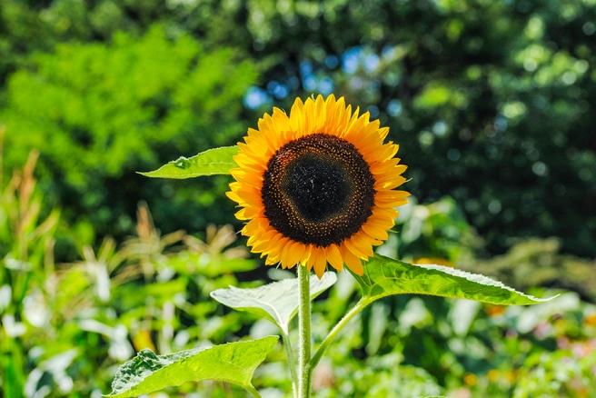 Sunflower at Clark Botanic Garden in Albertson, NY. Photo by Alyson Goodman