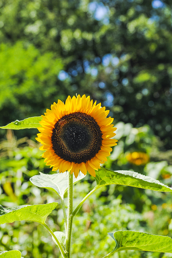 Sunflower at Clark Botanic Garden in Albertson, NY. Photo by Alyson Goodman