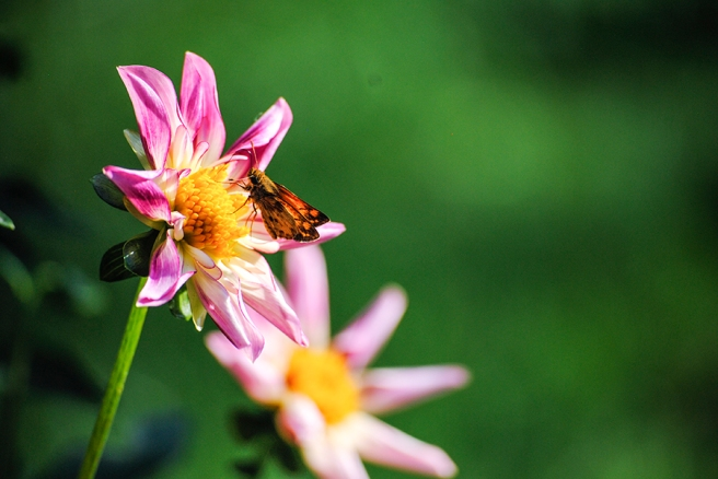 Dahlia and butterfly at Eisenhower Park's Dahlia Garden in East Meadow, NY. Photograph by Alyson Goodman.