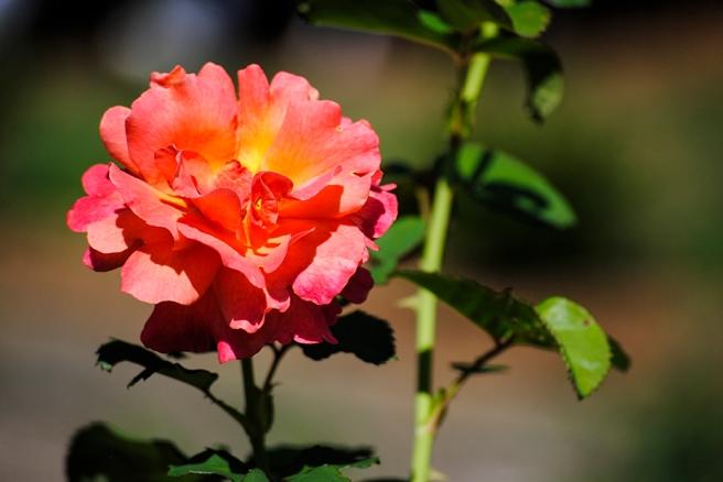 Clark Botanic Rose Garden in Albertson, New York. Photo by Alyson Goodman.