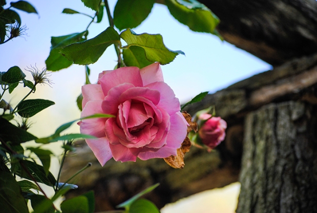 Rose Garden, Old Westbury Gardens in Old Westbury, NY. Photo by Alyson Goodman.