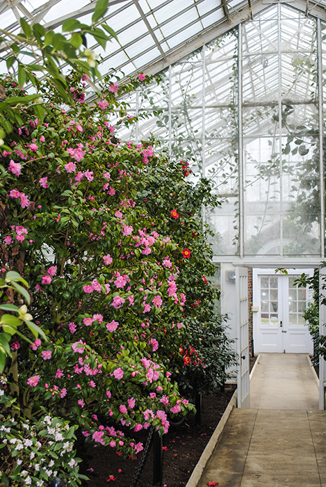 Camellia House at Planting Fields Arboretum, Oyster Bay, NY. Photo by Alyson Goodman.