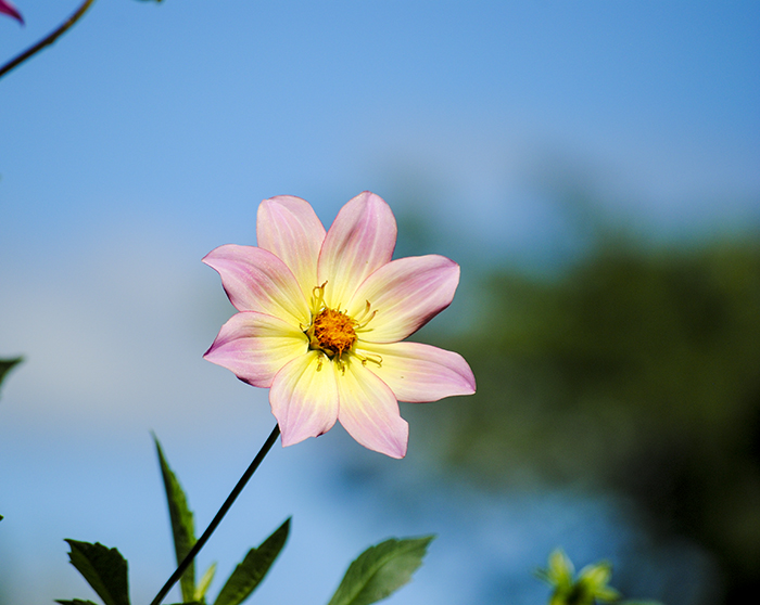 Eisenhower Park Dahlia Garden, East Meadow, NY. Photo by Alyson Goodman.