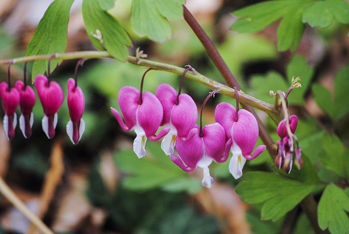 Bleeding hearts at Clark Botanic Garden, Albertson, NY. Photo by Alyson Goodman.