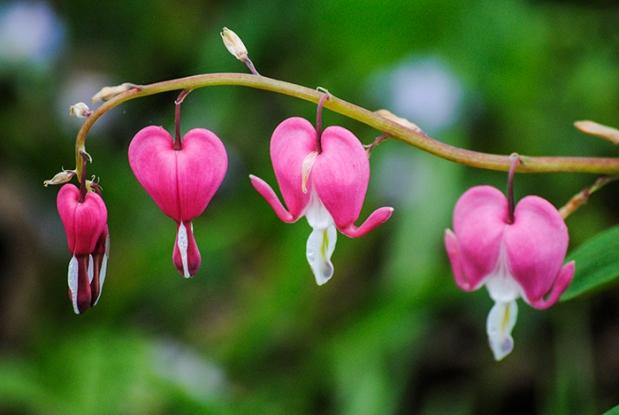 Bleeding hearts at Clark Botanic Garden, Albertson, NY. Photo by Alyson Goodman.
