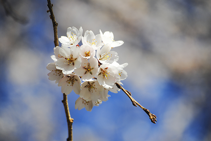 Cherry tree at Nassau County Museum of Art. Photograph by Alyson Goodman.