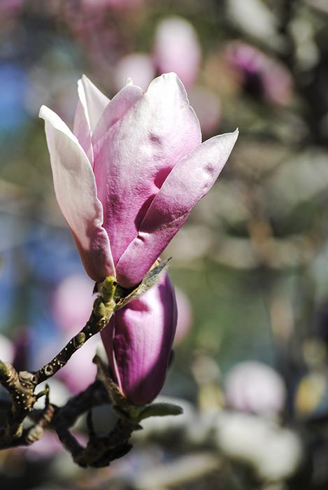 Magnolia Tree at Nassau County Museum of Art. Photograph by Alyson Goodman.