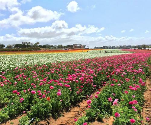 flowerfields1