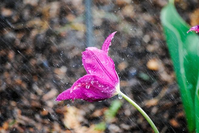 Tulip at Clark Botanic Garden in Albertson, NY. Photo by Alyson Goodman.