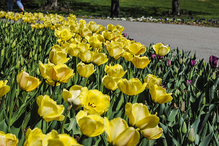 Tulips at Clark Botanic Garden in Albertson, NY. Photograph by Alyson Goodman.